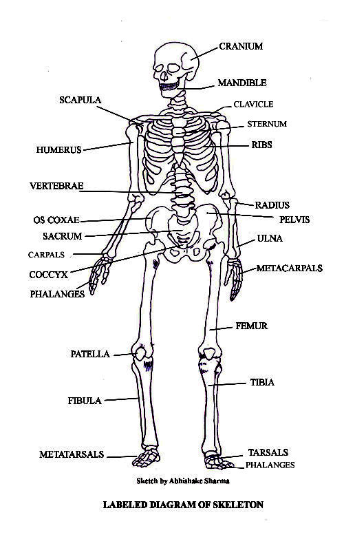 19299111 also File PSM V68 D343 Images of normal and polydactyl structure of skeletal elements of dogs furthermore Rabbit Anatomy in addition Term Ii Science besides Foot Bone Anatomy Chart. on skeletal foot labeled